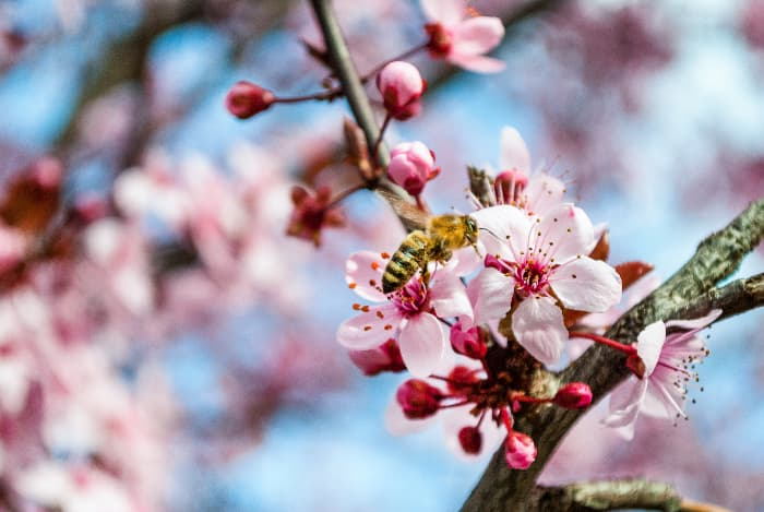 Bee pollinating a cherry blossom.