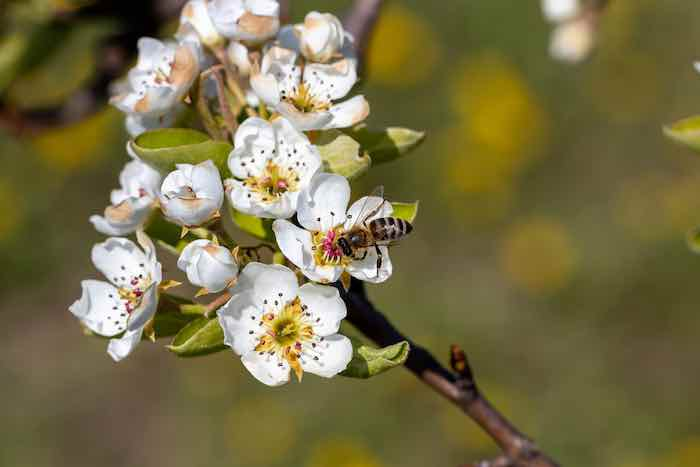 Bee Pollinating an Apple Tree