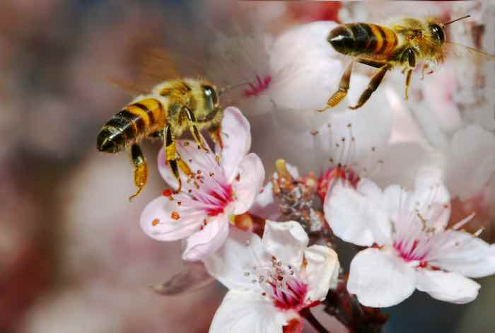 Bees Pollinating a Blossom