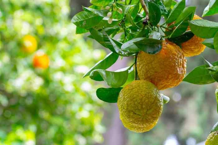 Bergamot Oranges on a Tree