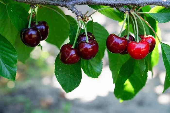 Bing Sweet Cherry Tree