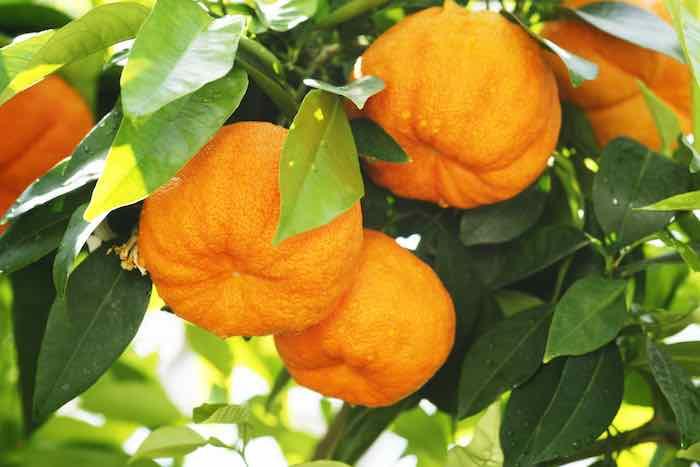 Oranges on a bitter orange tree