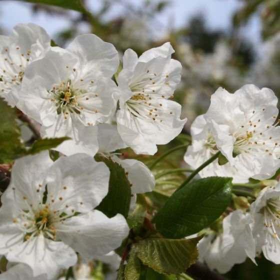 Black Tartarian Cherry Blossoms