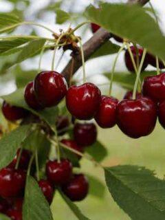 Blackgold Cherry Tree