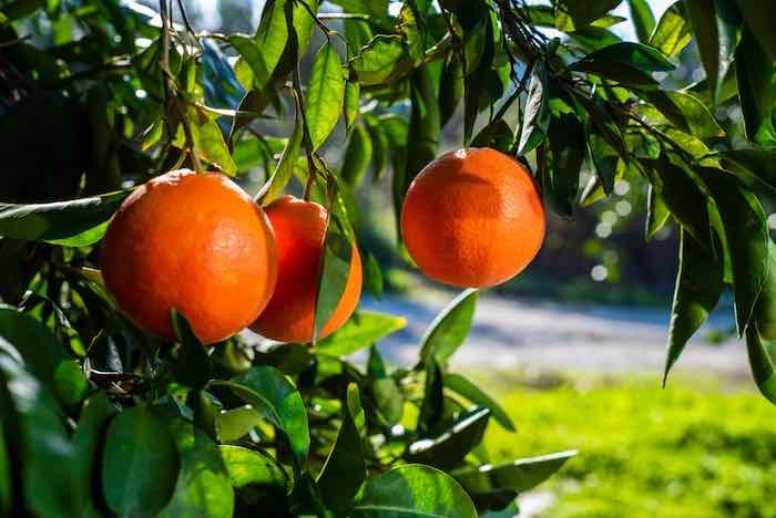 Blood Orange Tree