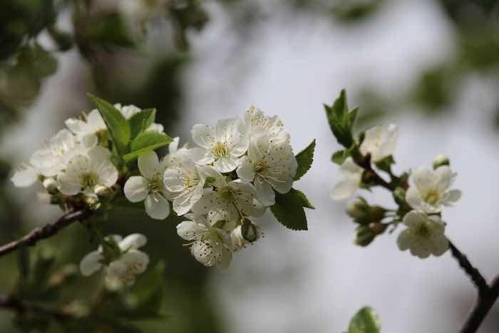 Carmine Jewel Cherry Blossoms