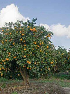Fukumoto Orange Tree