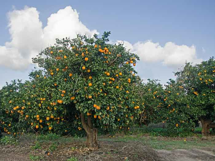 Citrus sinensis: Fukumoto Orange Tree