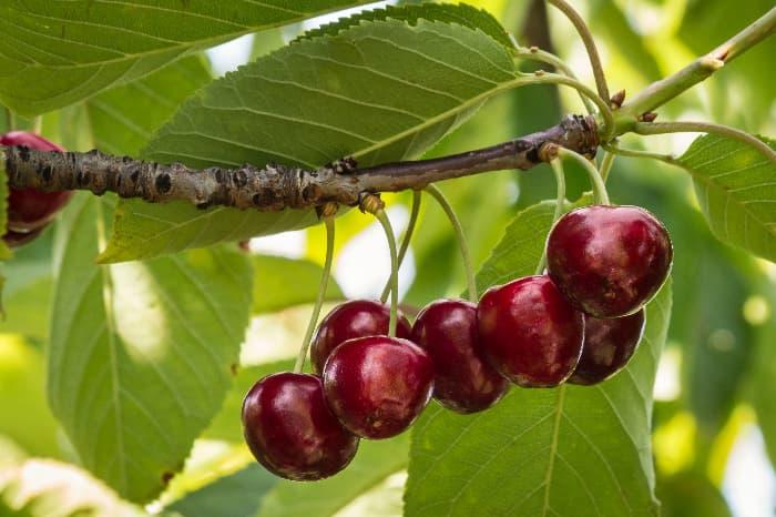 Dark Red Cherries on a branch.