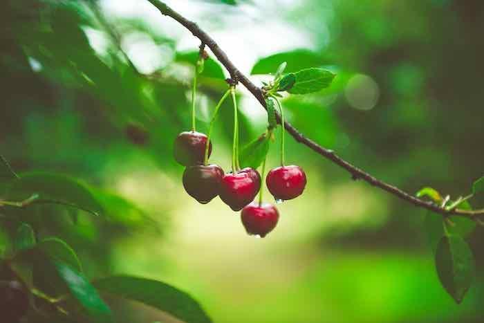 Early Richmond Cherry Tree