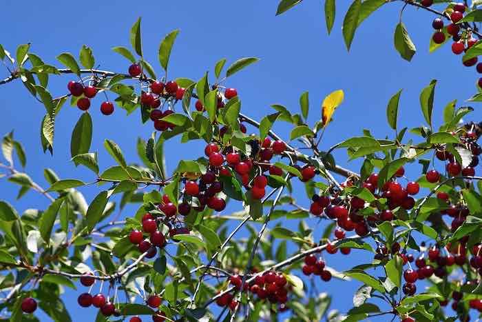 English Morello Cherry Tree