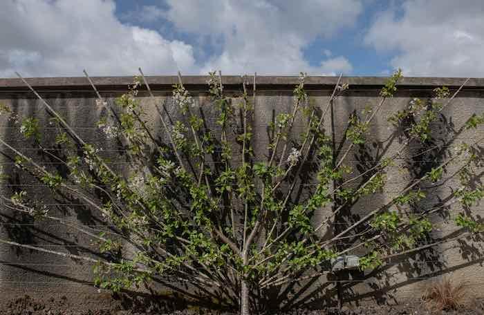 Fan Shaped Morello Tree