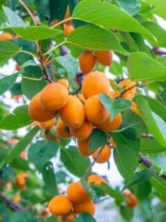 Golden Sweet Apricots on a Tree