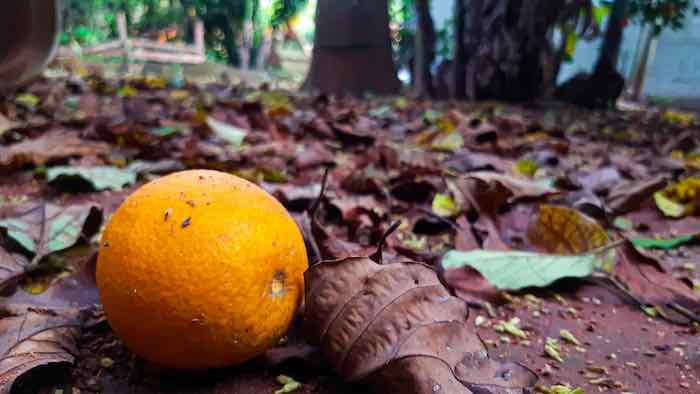 Hamlin Orange on the ground
