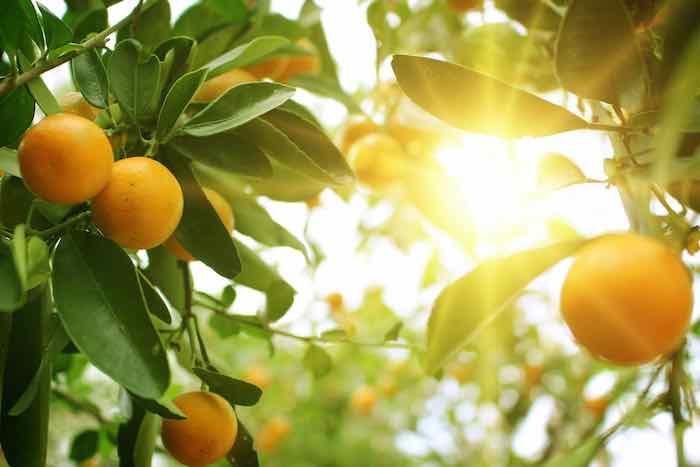 Oranges in the sun.