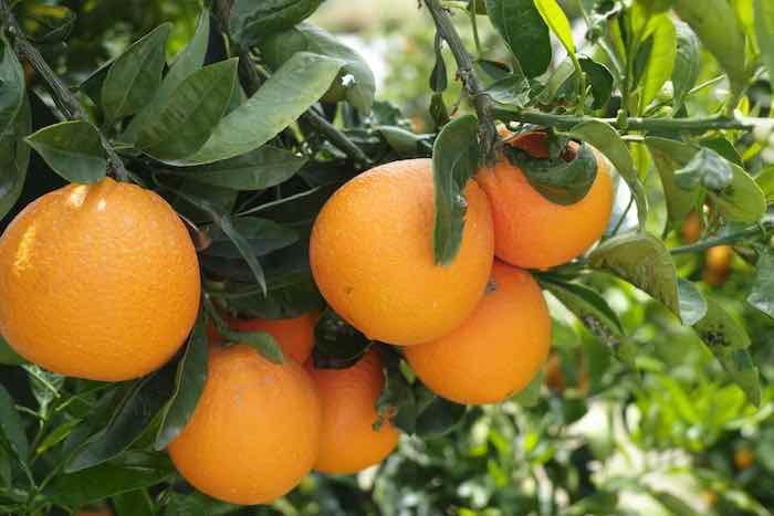 Heirloom Navel Orange Tree