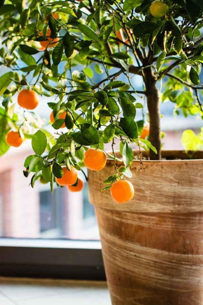 Indoor Satsuma Orange Tree