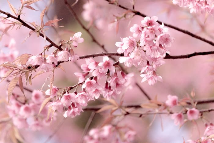 Japanese cherry tree blossoms.