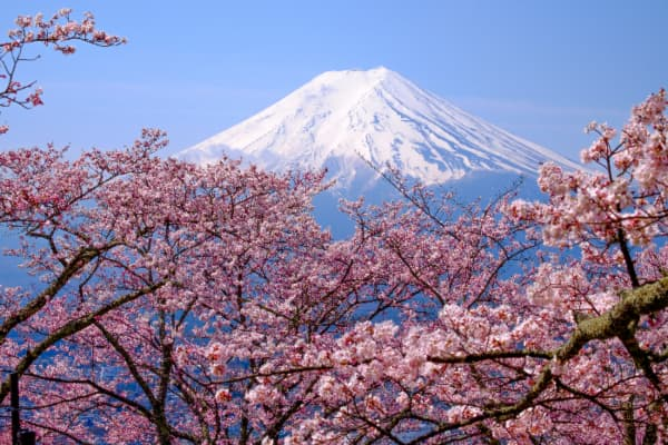Japanese cherry trees with Mount Fuji in the background.