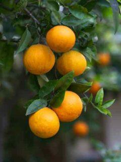 Maltese Orange Tree