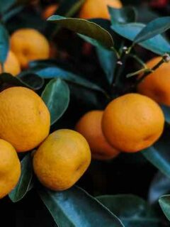 Mandarian Orange Tree