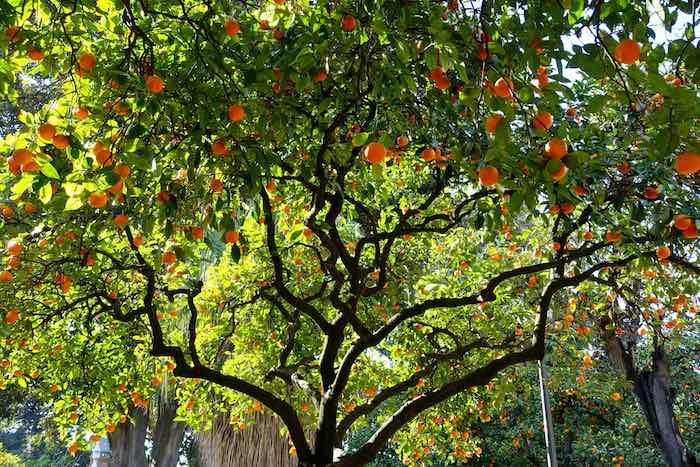 Mature Bitter Orange Tree on a sunny day.