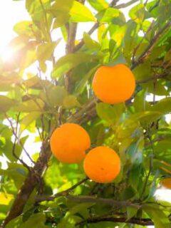 Navel Orange Tree
