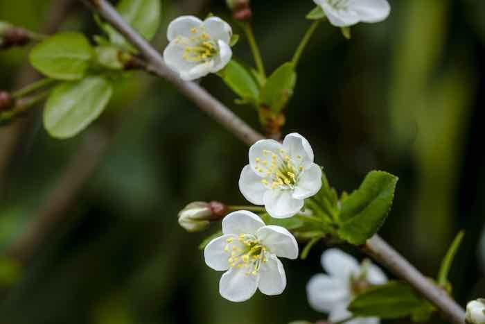 North Star Cherry Blossoms