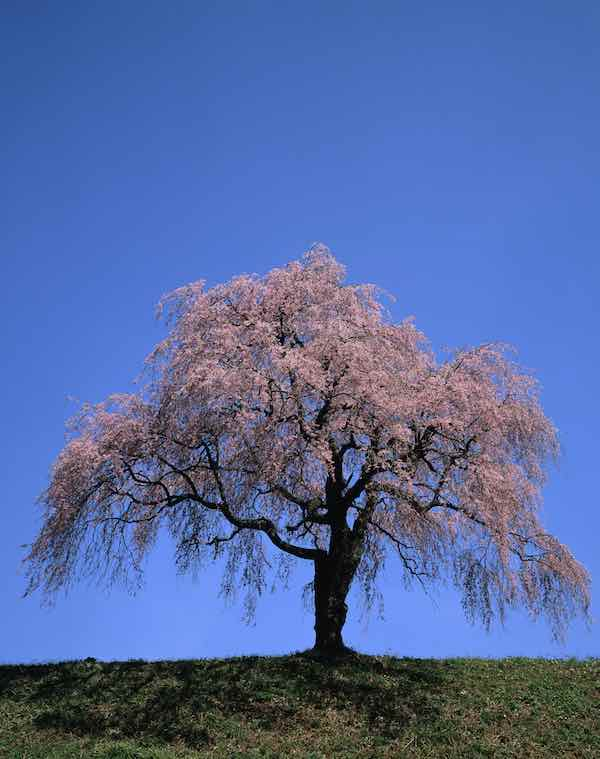 Old Pink Weeping Cherry Tree