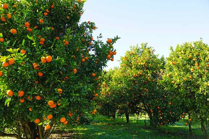 Orchard of Clementine Trees