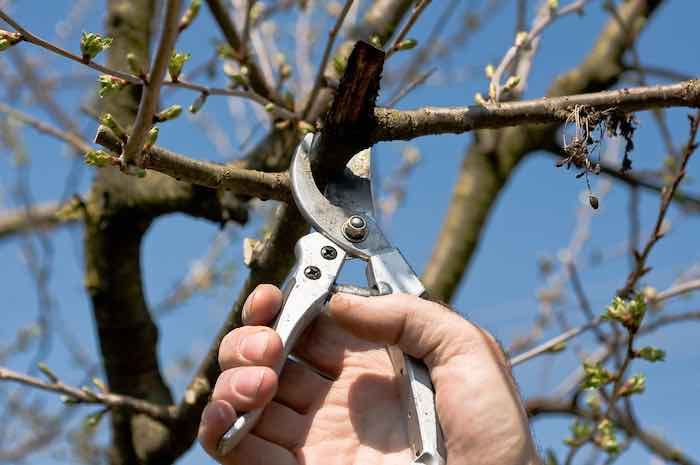 Pruning A Cherry Tree