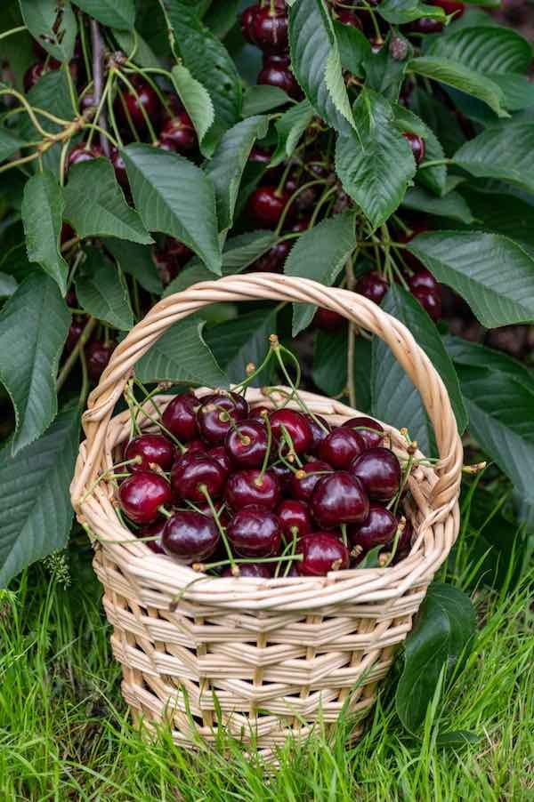 Regina Cherries in a basket.