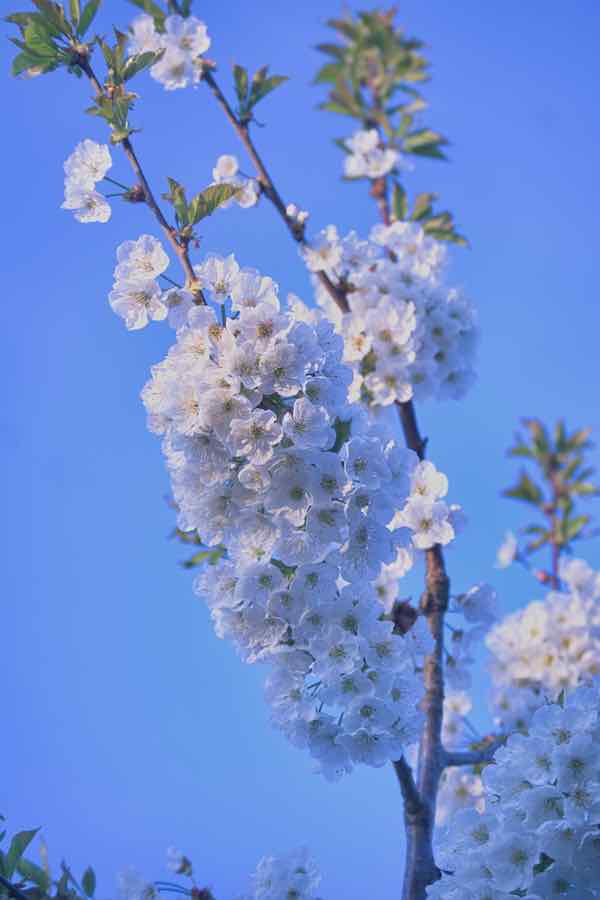 Regina Cherry Blossoms