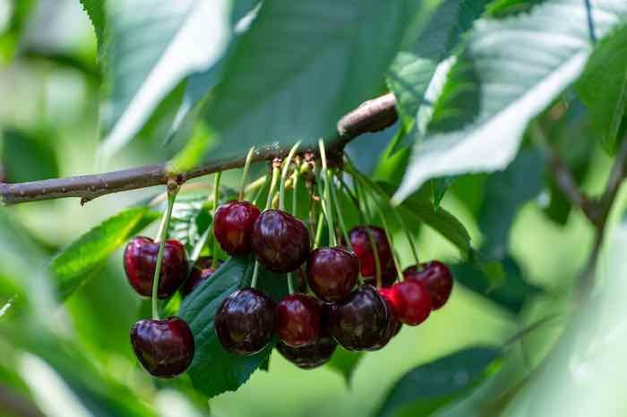 Regina Cherry Tree
