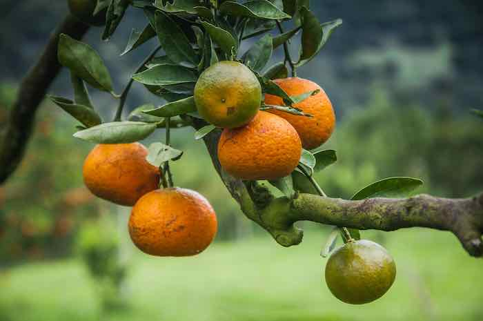 Ripe Tangerines on a Tree