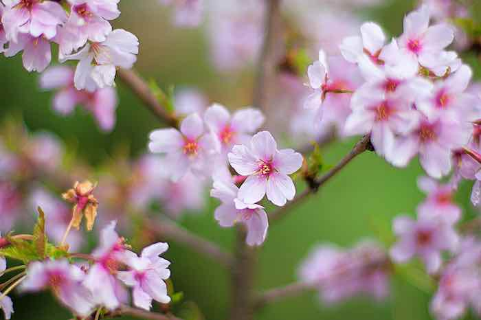 Royal Apricot Blossoms
