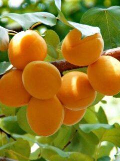 Royal Apricot Tree