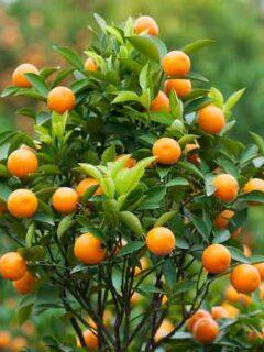Satsuma Orange Tree