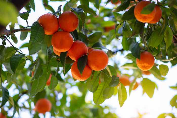 Satsuma Oranges on a Tree