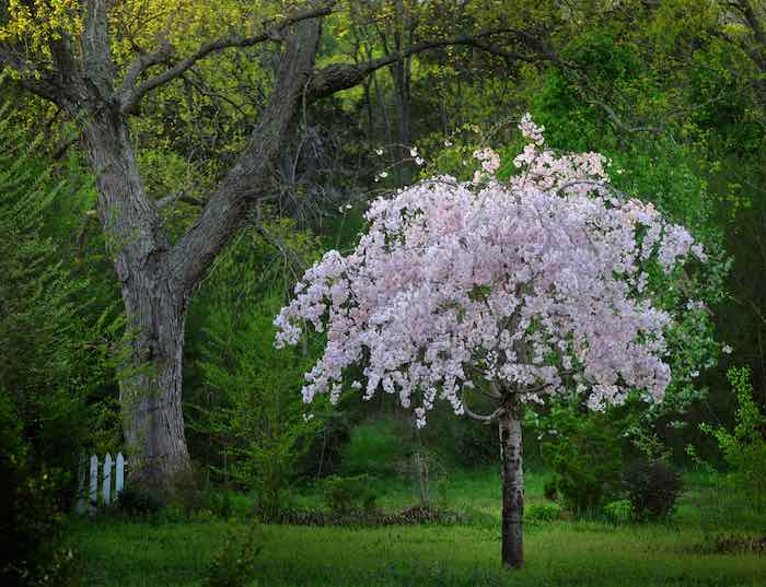 Small Pink Weeping Cherry Tree