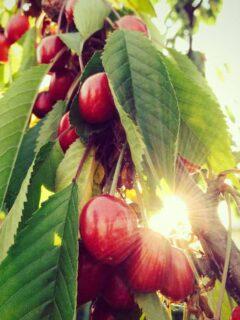 Sunburst Cherry Tree
