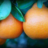 Tangelo Orange Tree facts tips