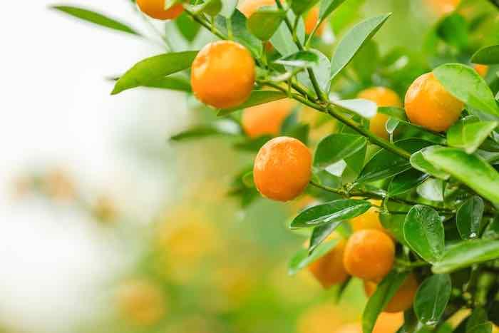 Tangerine Tree with Ripe Tangerines