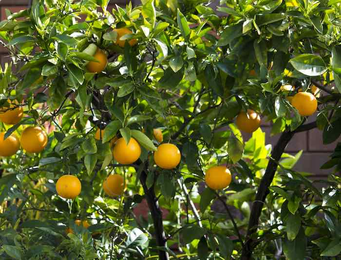 Vaniglia Sanguigno Blood Orange Tree