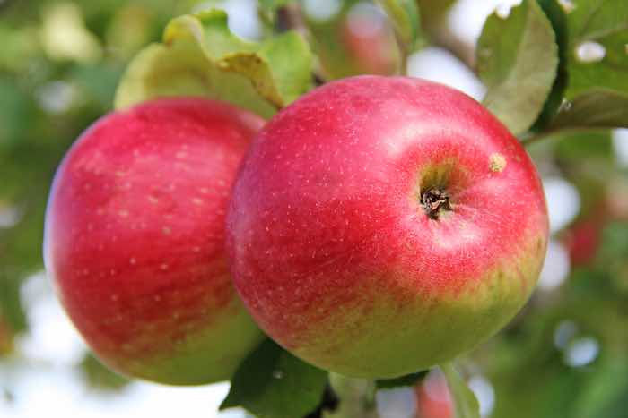Red apples on a Wealthy Apple Tree