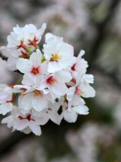 Yoshino Cherry Tree Blossom