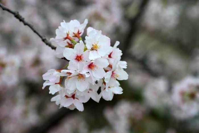 Yoshino cherry tree blossom.