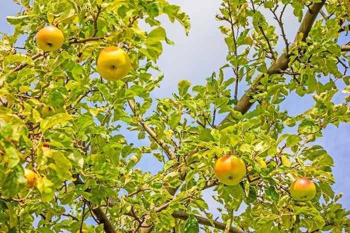 criterion apple tree