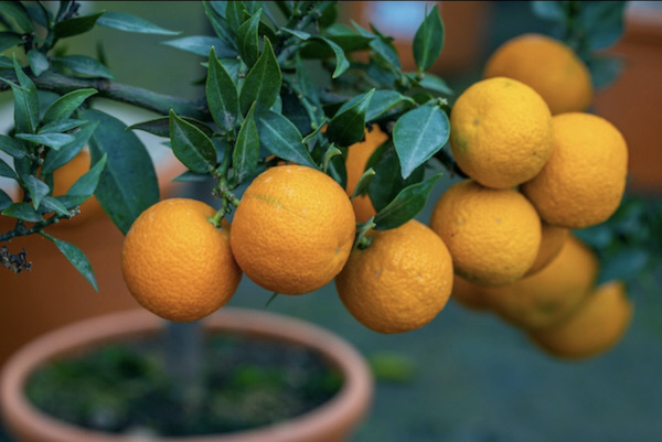 Chinotto Sour Orange Tree, an ornamental tree, that is great potted.