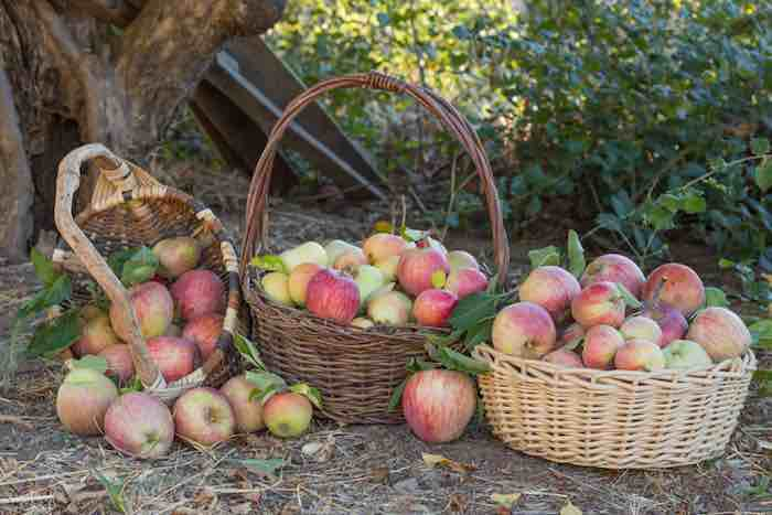 Apple picking at one of the best apple orchards in California.